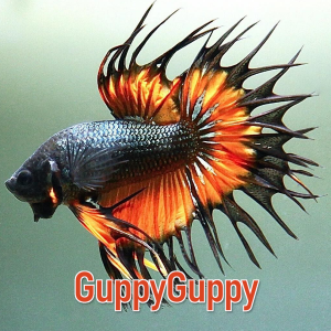 Crowntail Betta GuppyGuppy.com.au Australian Aquarium Auctions