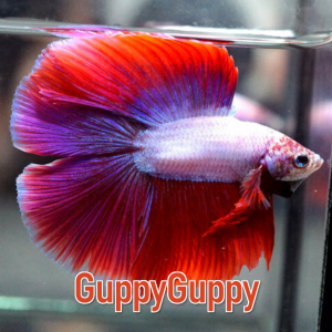 Double Tail Betta GuppyGuppy.com.au Australian Aquarium Auctions