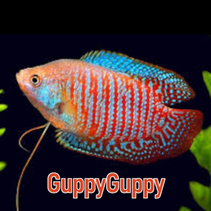 Dwarf gourami buy sell aquarium auctions Australia