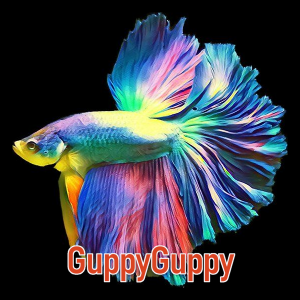 Halfmoon Betta GuppyGuppy.com.au Australian Aquarium Auctions